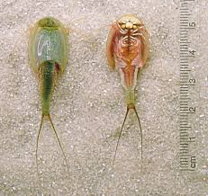 Triops: adorable!