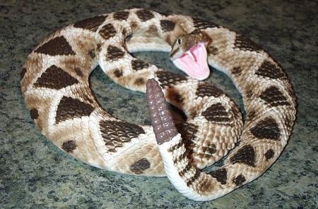 rattlesnake-saf-med