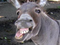Angry-donkey